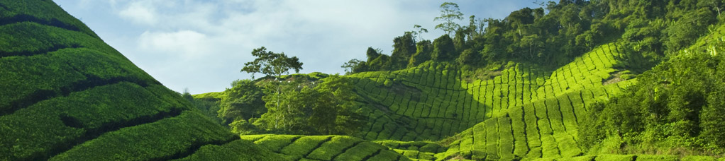 Hills of green tea